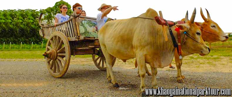 Enjoy to Ox-cart riding The traditional The Transport in the past. You can see the mountain view and rice field,Khao Yai Tour from Bangkok