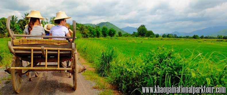 Enjoy to Ox-cart riding The traditional The Transport in the past. You can see the mountain view and rice field, Khao Yai National Park Tour