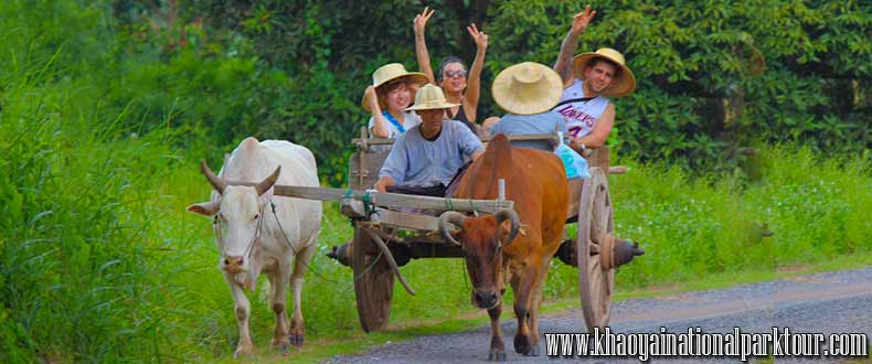 Enjoy and exciting with Ox-cart riding at Nakhon Nayok Province Thailand,Adventure nakhon nayok tour