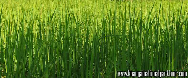 Green paddy field nature ,Thai Touch Tour Nakhon Nayok