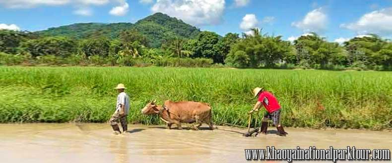 Learn to Thai way life about How to grow rice ? ,Thai Touch Tour Nakhon Nayok