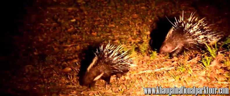 Porcupine Khao Yai Night Safari Tour